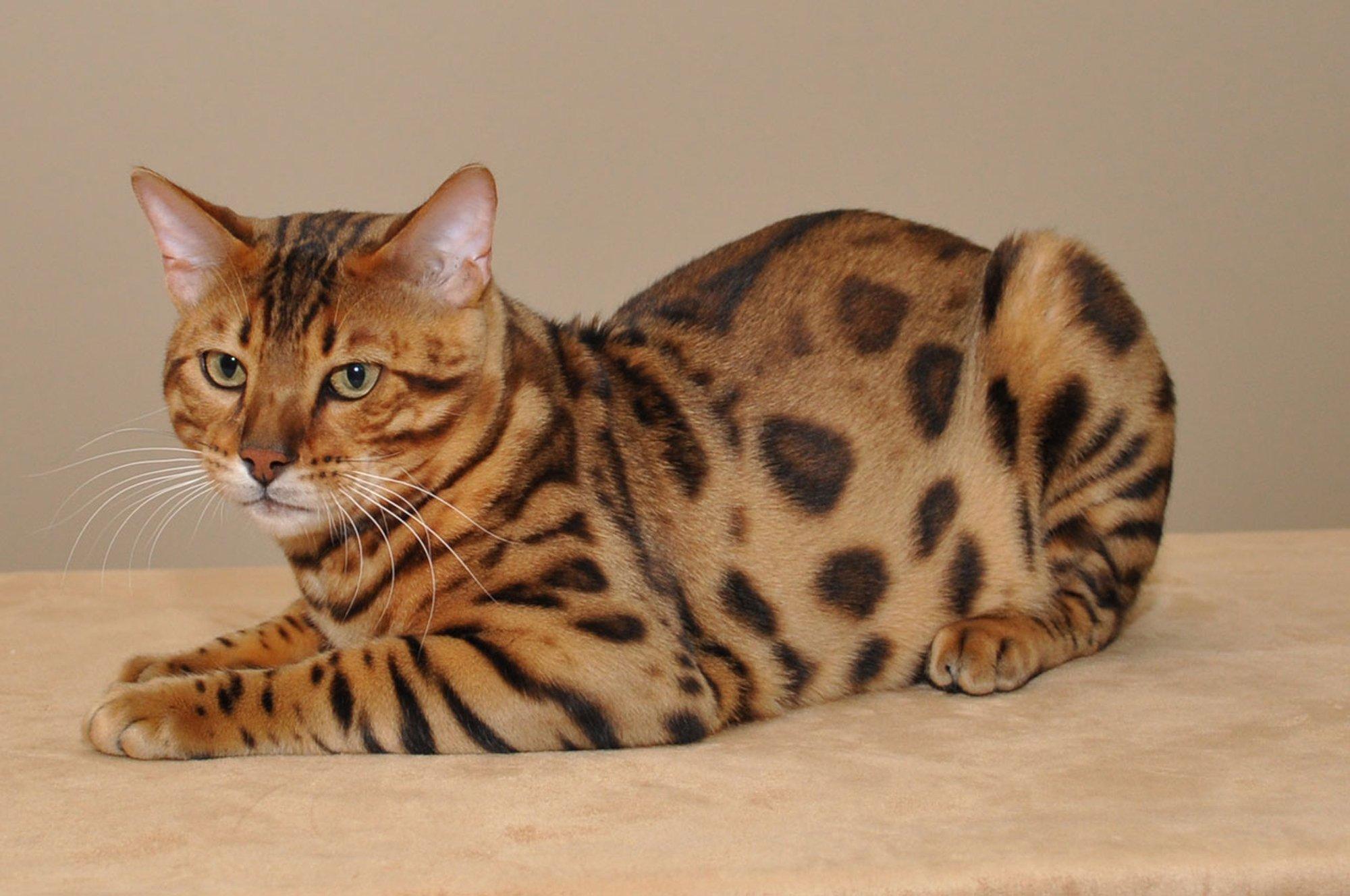 Екзотична домашня бенгальська кішка