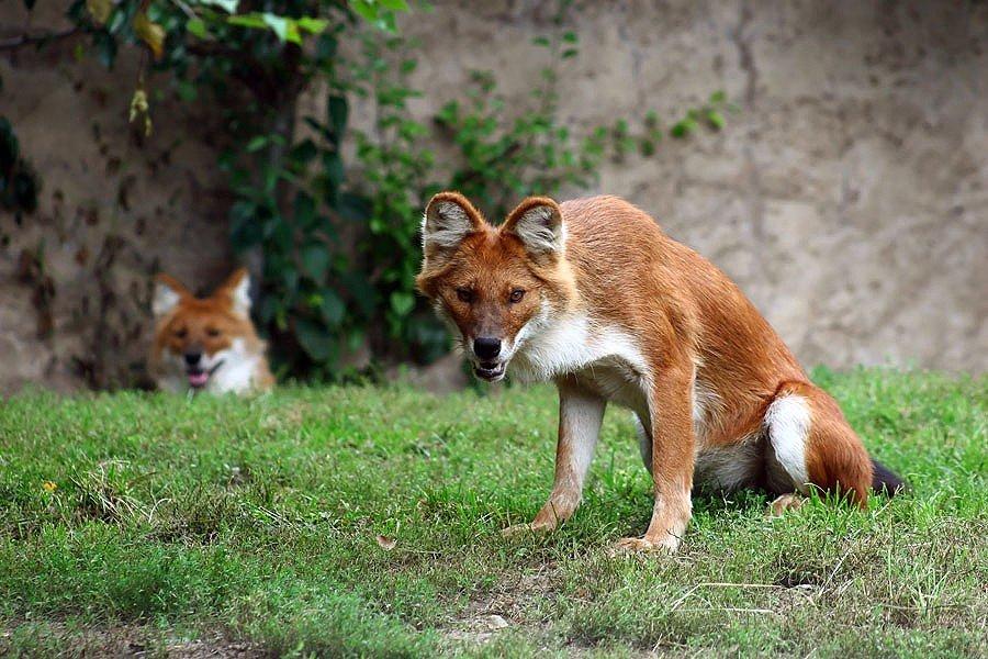 Червоний вовк