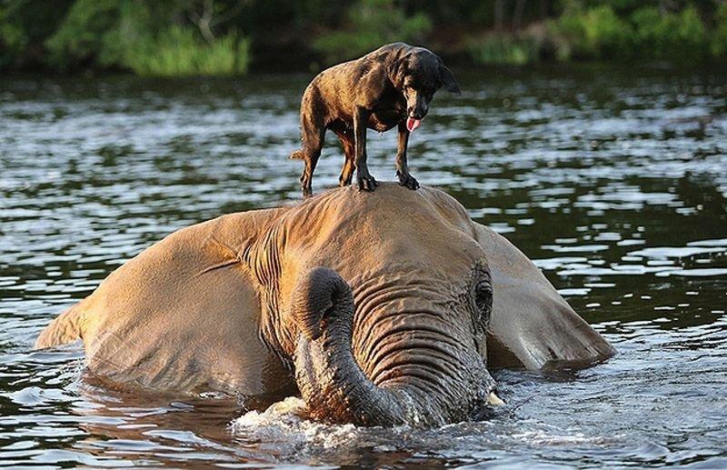 Необычная дружба животных. Собака и слон – фото 1