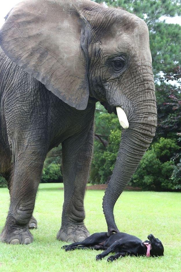 Необычная дружба животных. Собака и слон – фото 2