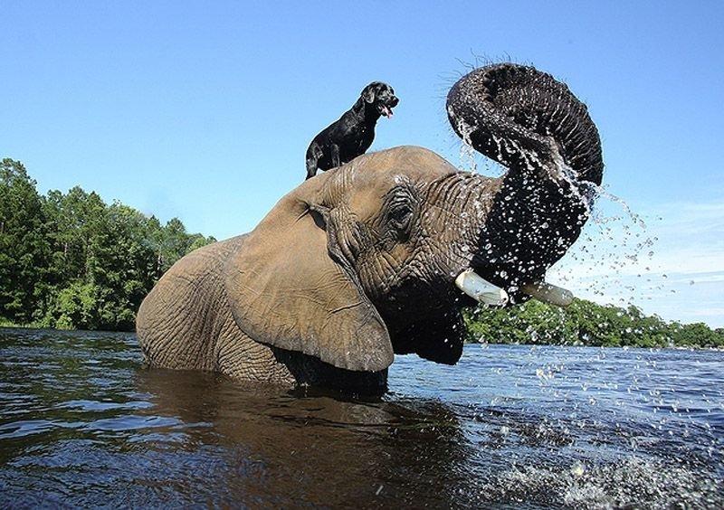 Необычная дружба животных. Собака и слон – фото 3