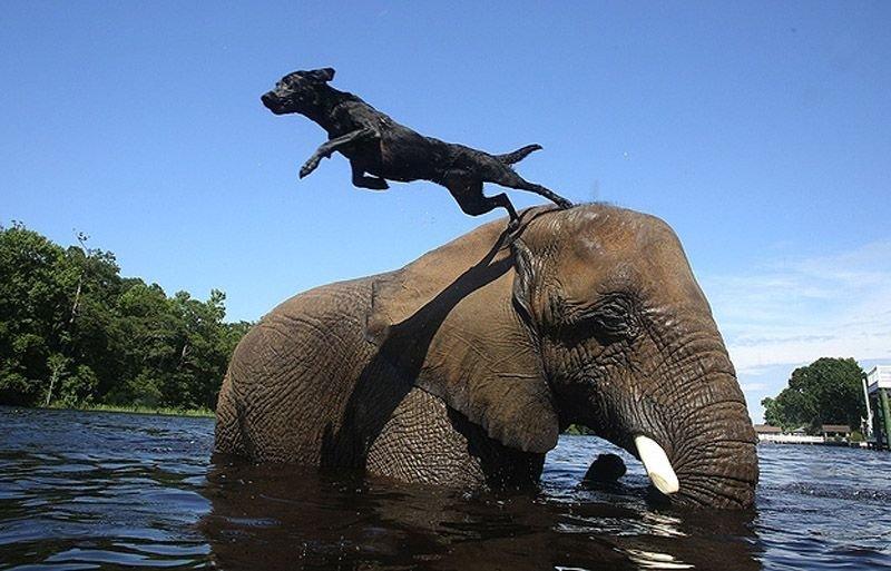 Необычная дружба животных. Собака и слон – фото 4
