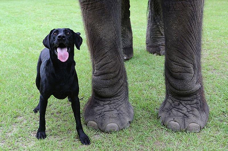 Необычная дружба животных. Собака и слон – фото 5