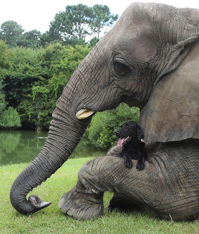 Необычная дружба животных. Собака и слон – фото 6