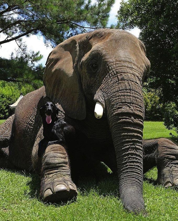 Необычная дружба животных. Собака и слон – фото 7
