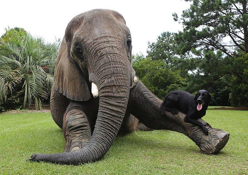 Необычная дружба животных. Собака и слон – фото 8