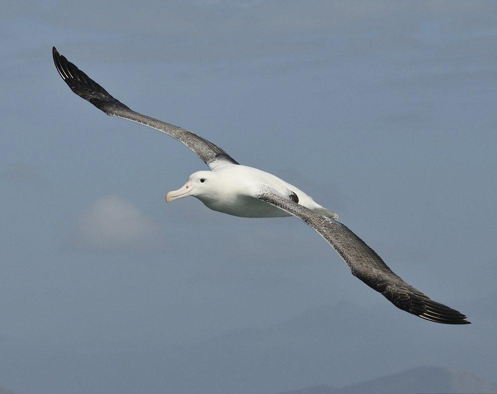 Мандрівний альбатрос