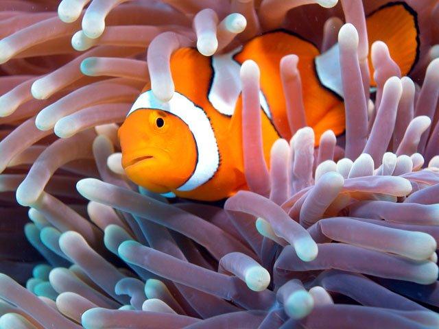 Риба-клоун