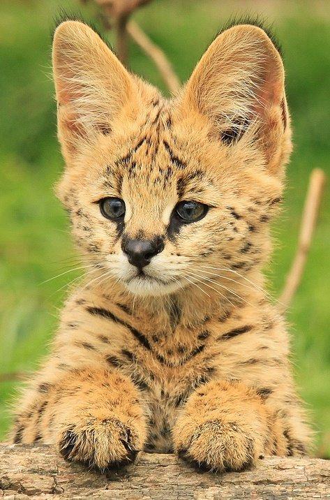 Африканськая кошка сервал