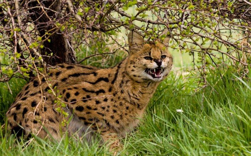 Африканська кішка сервал