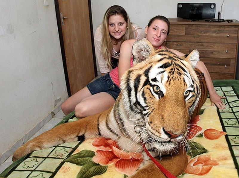 Домашній тигр, фото 4