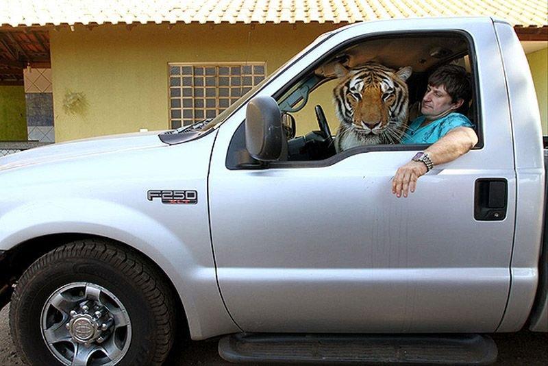 Домашний тигр, фото 5