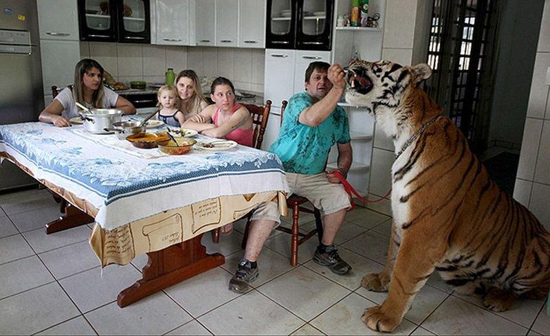 Домашний тигр, фото 6