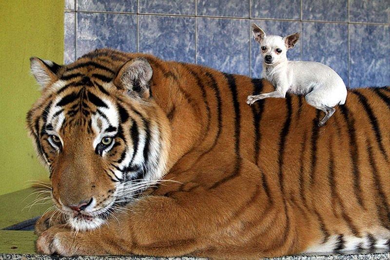 Домашний тигр, фото 8