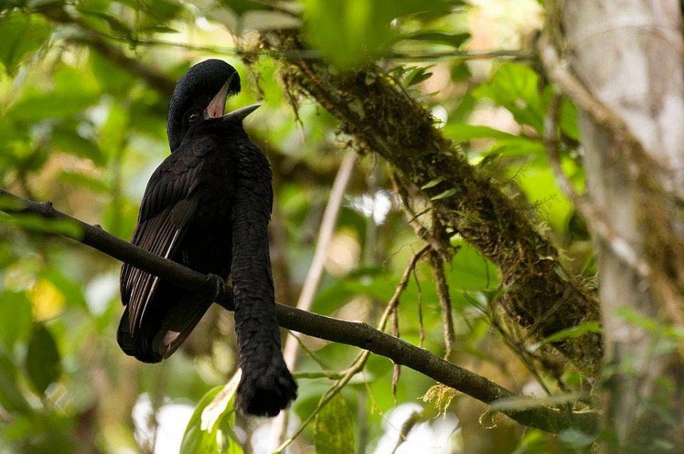 Еквадорський зонтичний птах