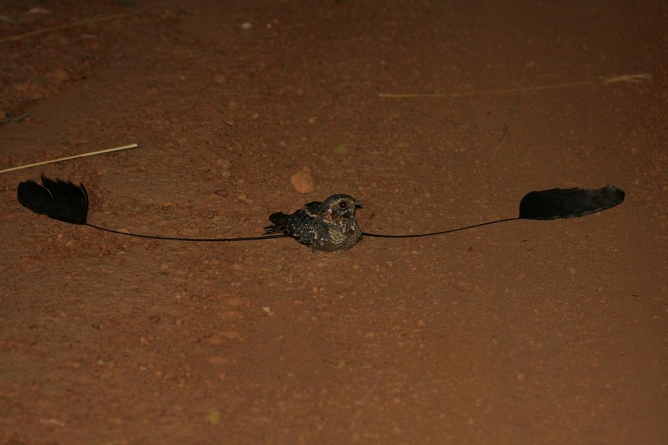 Африканський вимпеловий козодой
