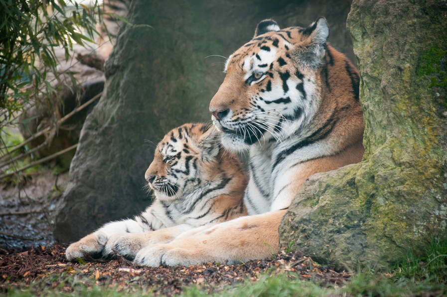 Животные, находящиеся под угрозой исчезновения - Амурский тигр