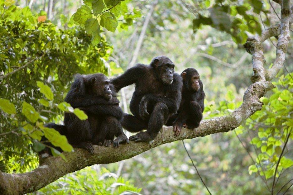 Животные, находящиеся под угрозой исчезновения - Шимпанзе