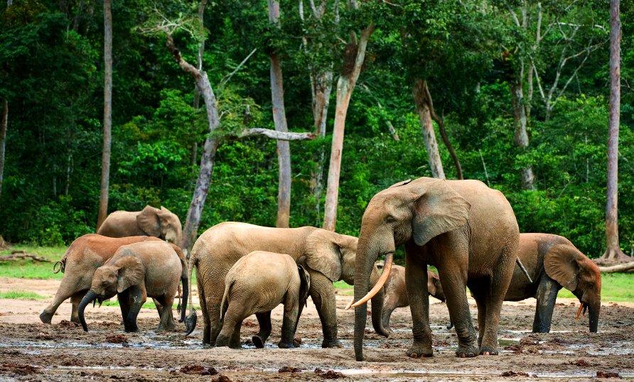 Животные, находящиеся под угрозой исчезновения - Африканський слон