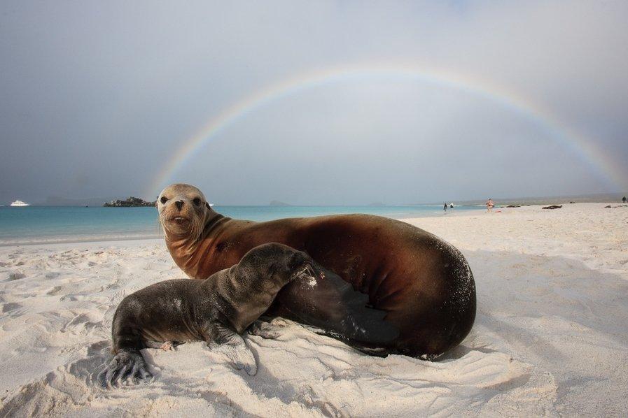 Животные, находящиеся под угрозой исчезновения - Галапагосский морской лев