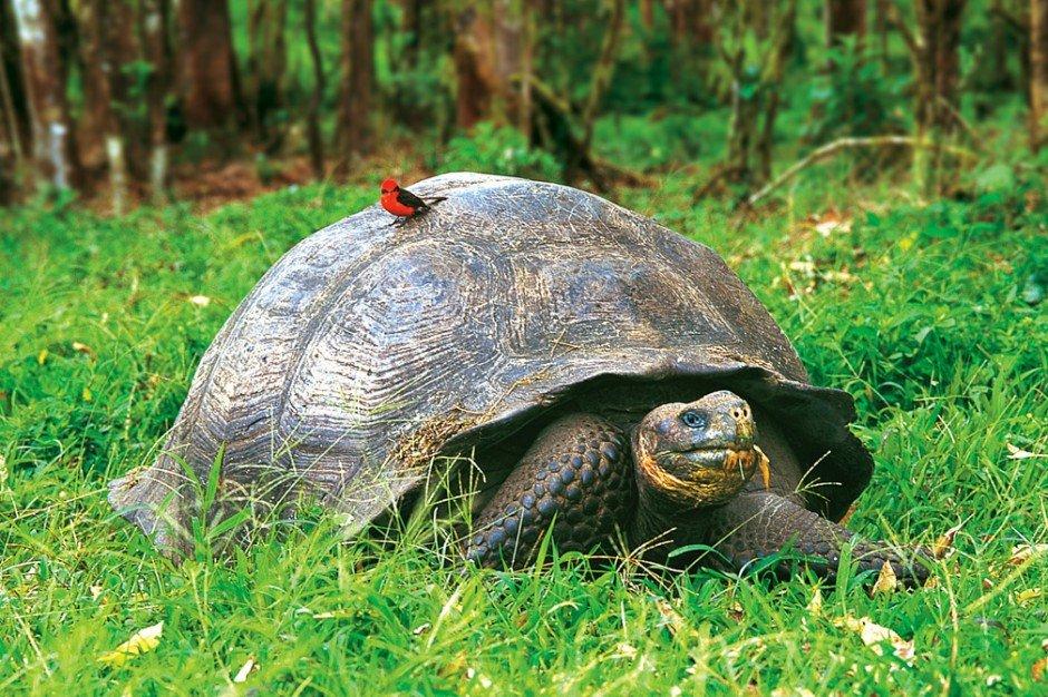 Животные, находящиеся под угрозой исчезновения - Слонова черепаха
