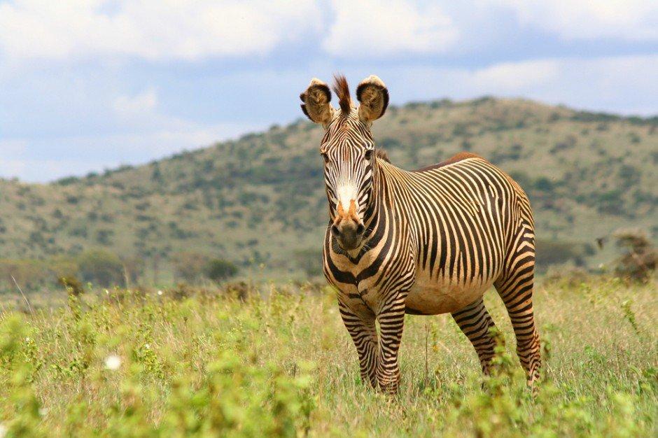 Животные, находящиеся под угрозой исчезновения - Зебра Греви