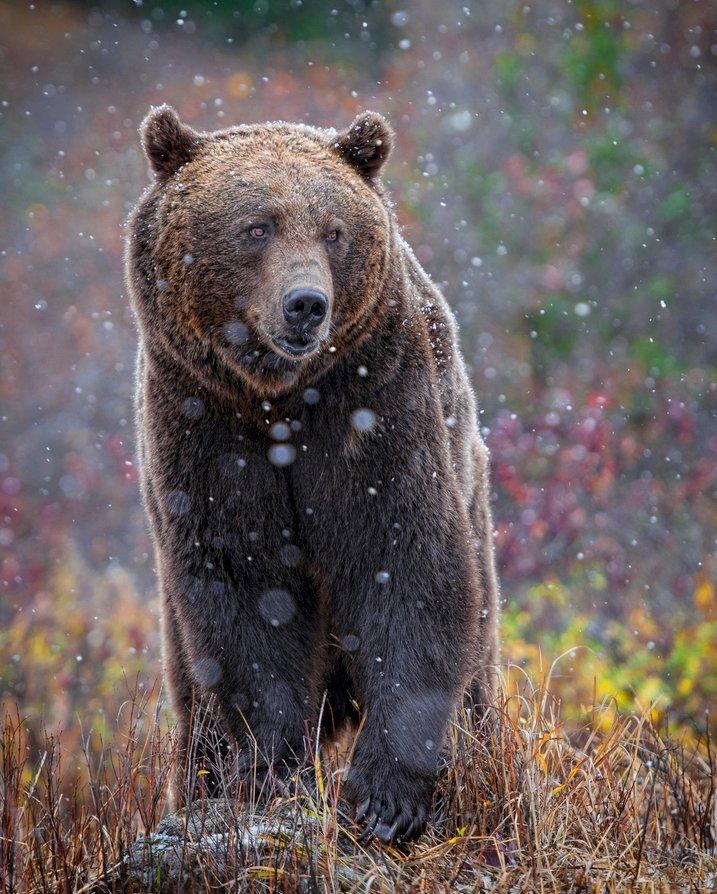 Тварини, що знаходяться під загрозою зникнення - Грізлі
