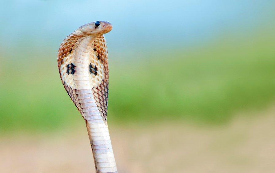 Животные, находящиеся под угрозой исчезновения - Королевская кобра