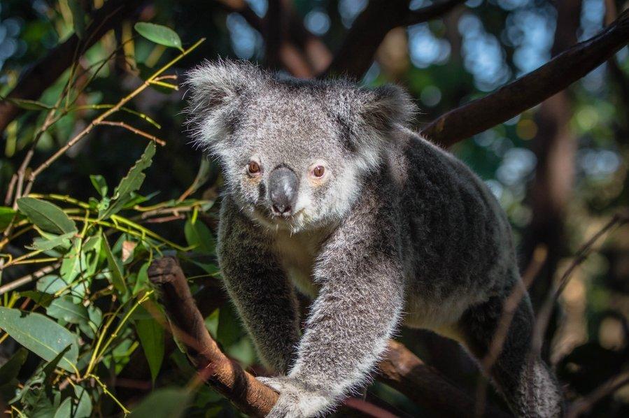 Животные, находящиеся под угрозой исчезновения - Коала