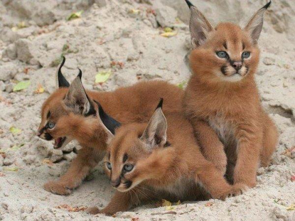 фотографії милих тваринок, каракали