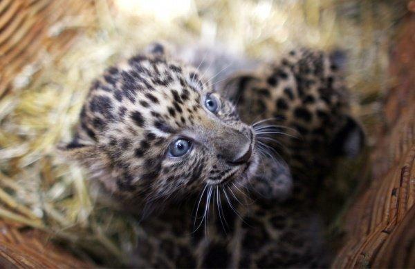 фотографії милих тваринок, дитинча леопарда
