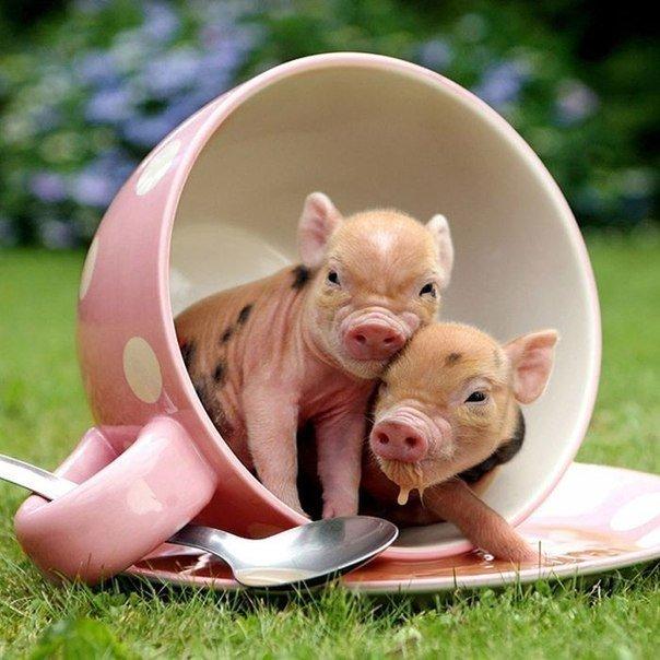 Карликові свинки
