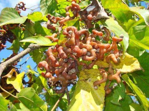 """Говения сладкая из Китая. Фото """"японского изюмного дерева"""""""
