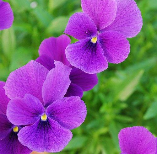 Назви квітів, фото квітів. Як виглядає: астра, братки, барвінок ...