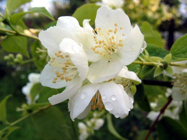 жасмин цветок фото:
