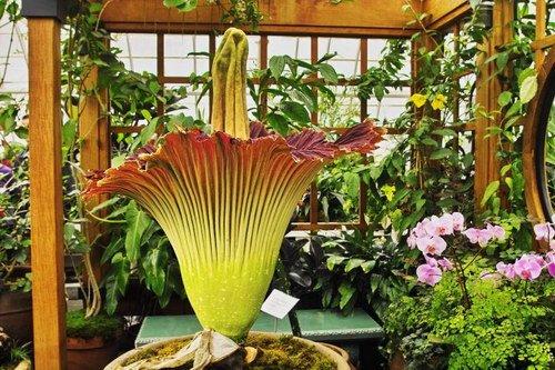 Редкие цветы. Аморфофаллус