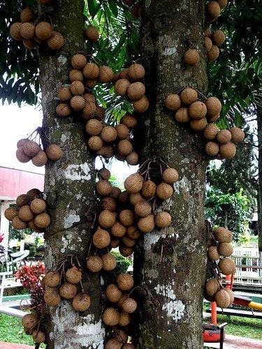 Дерево кеппел
