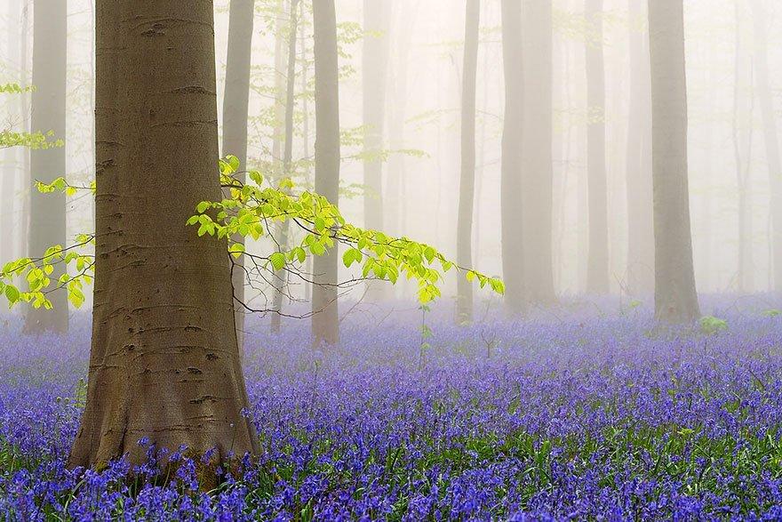 Ліс Халлербос у Бельгії