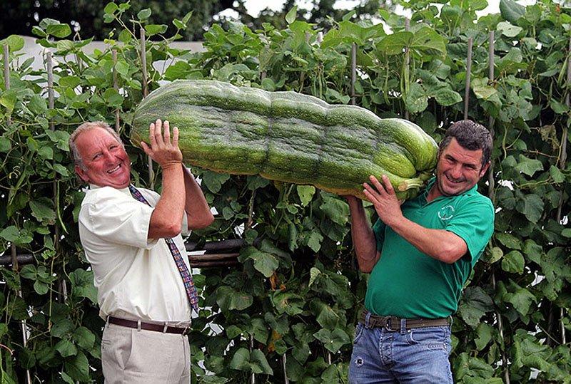 Овощи-гиганты - фото 12