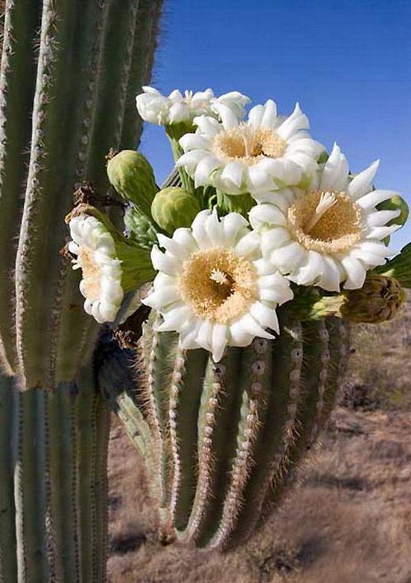фото цветов кактуса: