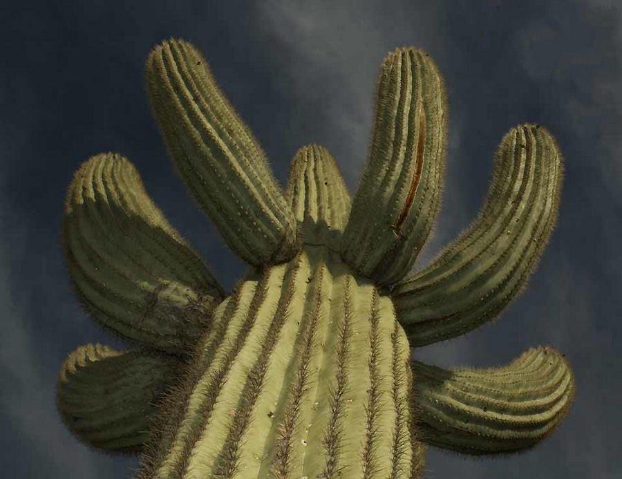 Гігантські кактуси сагуаро