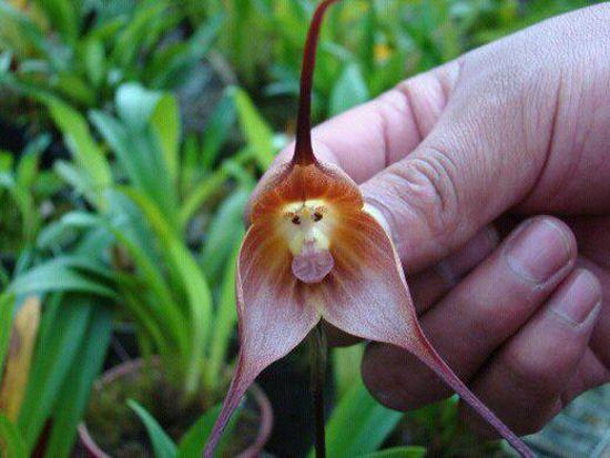 Орхідея-мавпочка