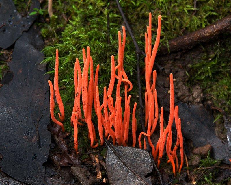 Кораловий гриб