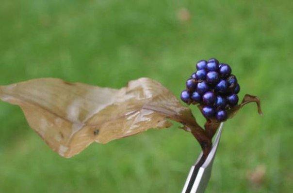 Блестящая ягода Pollia condensata — фото 2