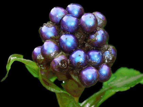 Блестящая ягода Pollia condensata — фото 1