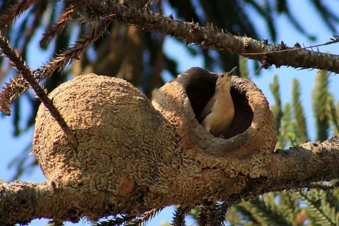 Гнездо рыжего печника