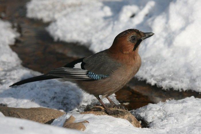 Зимующие птицы Украины, фото 5